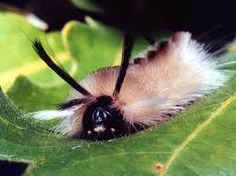 Banded Tussock Moth Caterpillar