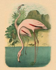 Vintage Pink Flamingo Antique prints Wall by AntiqueBotanicalArt