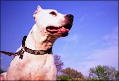 American Pit Bull - http://www.katespetcorner.com/2013/09/the-truth-about-american-pit-bulls.html