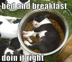 Boston Terrier Bed and Breakfast, too cute!