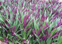 Moses in the Cradle (Rhoeo Dwarf) - Purple Ground Cover Small Plants, Air Plants, Garden Plants, House Plants, Purple Ground Cover, Succulent Ground Cover, Moses In The Cradle, Purple Plants, Lawn And Landscape