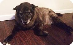 Senior, Special Needs, female Keeshond Mix Dog for adoption in Savannah, Georgia - Rascal 2 is now 13 years old she arrived at Coastal Pet Rescue a year ago after her previous owner turned her into a kill shelter with a PTS order simply because she has arthritis.