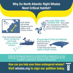 Only 500 North Atlantic right whales remain. Ask the U.S. government to expand critical habitat for North Atlantic right whales.