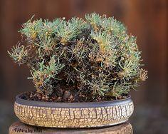 Othonna euphorbioides | kitoi | Flickr