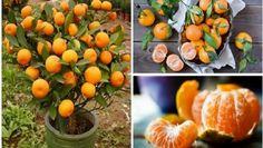 Csodálatos illata és különlegesen finom íze teszi a mandarint az egyik legkedveltebb és legfinomabb citrusfélévé. A mandarin nemcsak finom gyümölcs,...