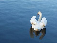 swan - Berlin