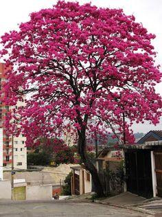 ipes floridos em porto alegre - Pesquisa Google