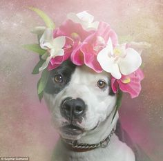 Looking for a home: Each of the pups are rescues living in New York shelters who are waiting to be adopted. (Pictured: Fancy, a one-year-old...