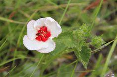 Flora Bonaerense: Malva de las piedras (Pavonia cymbalaria)
