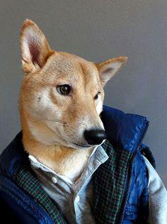 Ну и стильная же ваша собака! Звать его величать Бодхи (Bodhi). Порода шиба-ину. 3 года. Прописан в Нью-Йорке, США. Живёт с графическим дизайнером Дэвидом Фангом (David Fung) и его подругой Йеной Ким (Yena Kim), которая профессионально занимается дизайном одежды.