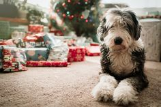 Animal Old English Sheepdog Dog Depth Of Field Gift Christmas Wallpaper