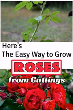Best Way to Grow Roses from Cuttings without Rooting Hormone - Ableger-Garten - Everyone love roses but they aren't among the easy to propagate plants. Watch our short video to - Growing Plants, Growing Vegetables, Growing Tomatoes, Growing Roses From Seeds, Climbing Plants Fast Growing, Growing Peppers, Growing Fruit Trees, Growing Carrots, Growing Flowers