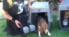Our second rescue from beagles who have lived their entire lives inside a research laboratory. These beagles have known nothing except the confines of metal cages.