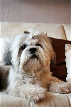 Lhasa Apso Dog by iovannaOff on deviantART Cute Dogs And Puppies, Pet Dogs, Dog Cat, Boxer Puppies, Pets, Doggies, Lhasa Apso Puppies, Shih Tzu Puppy, Yorkie