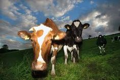 I love this photo! Are you a fan of cows?