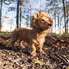 ❗️WARNING: There's a 10lb lion on the loose. Will respond to treats and/or belly rubs ❗️ Channeling my inner Simba from the Lion King for the #movies category of #wickedcute @petsmart