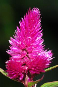 """Bij House & Garden wordt de diep paarse Celosia """"Deep Purple"""" uit stek geproduceerd."""