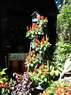 red salvia ladder