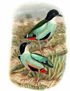 Azure-breasted Pitta - Pitta steerii