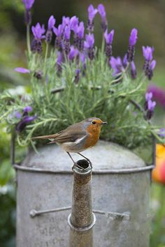 Three of my fav things together ... lavender, robin and watering can   <3