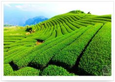 tea farm #Taiwan