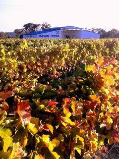 Autumn vineyard at Mason's Wines Pick Your Own Apples, Golden Leaves, Golden Oak, Sunshine Coast, Granite, Wines, Harvest, Barrel, Vineyard