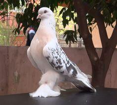 Şebab Güvercin Taklacı Kürenk Miski - Şebab Güvercin