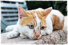 https://flic.kr/p/DSfbS7 | Barcelona Cat | www.instagram.com/dieter_michalek www.facebook.com/fotografie.by.dieter.michalek #cat #barcelona #spain #katze #katzen #gatto #gato #chat #kadi #ginger #travel #fotografie #fotografia #photography