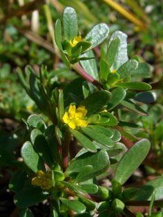 Purslane Plant: How To Get Rid Of Purslane