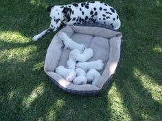 nap time for baby dalmatians...no spots yet......