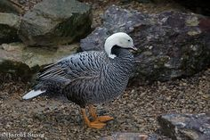 Emperor Goose, Chen canagica | Flickr - Photo Sharing!