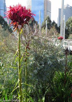Gymea Lily, Melbourne.