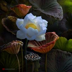 The sacred lotus by Duong Quoc Dinh Exotic Flowers, Amazing Flowers, Love Flowers, Lotus Painting, Body Painting, Lotus Flower Art, Sacred Lotus, Lotus Pond, White Lotus