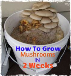 Most people who go in for mushroom growing just go out and buy both the spores (or spawn) and the growth medium. They do this because this is the easiest way to grow mushrooms. But if you are thinking of growing mushrooms commercially Garden Mushrooms, Edible Mushrooms, Growing Mushrooms, Wild Mushrooms, Stuffed Mushrooms, Mushroom Spores, Mushroom Cultivation, Culture Champignon, Mushroom Hunting