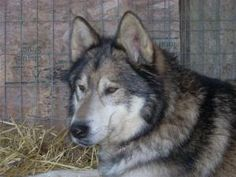 Beautiful GSD/Malamute (and wolf I believe) - My favorite on this site.