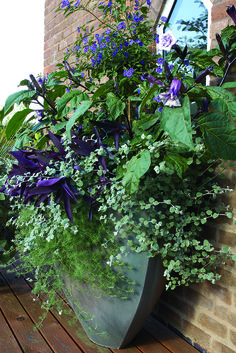 TRY THIS JAP Late summer pots - a fabulous pot containing a fragrant blue potato bush. Solanum rantonnetii 'Royal Robe', Brugmansia (Angel's trumpets), Helichrysum petiolare 'Goring Silver', Lotus berthelotii (Parrot's beak) and Setcreasea pallida 'Purple Heart'. Photo by Torie Chugg.