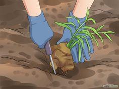Grow a Ginger Plant Step 12 Version 2.jpg