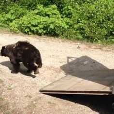 After surviving the worst wildfire in Washington's recorded history, Cinder the black bear is has returned to the wild. The Carlton Complex moved