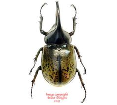 Dynastes hillus moroni is a rare beetle from Mexico.
