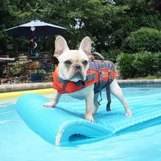 """#summerdogs Winston takes float life very seriously,"" writes @winstonlefrenchie. #dogsofinstagram #animals #tagsforlikes #dogs"