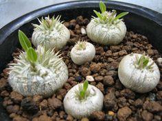 Pachypodium Brevicaule 5 Seeds Very Rare Cactus Caudex Succulent Madagascar…