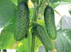 Cultiv castraveții după metoda pe care am aflat-o de la mătușa mea din Belarus. Recolta este extraordinară! - Fasingur