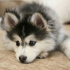 Tag who would love this little guy #pomsky Photo by @nanookbear #aroundtheworldpix
