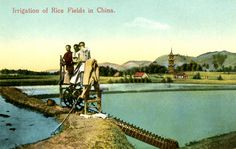 Irrigation of Rice Fields in China: this postcard depicts three Chinese people standing on a harvesting tool amidst paddy fields of rice. Rice is the most important crop grown in China. A paddy field is a flooded section of arable land used to grow semi aquatic rice. Paddy fields are usually flooded during or just after planting the rice seeds. Farmers typically manipulate streams or rivers for irrigating their crops.