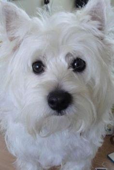 Image result for west highland white terrier
