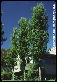 Pick the trees you want to use in your Utah County landscape design Columnar Trees, Deciduous Trees, Garden On A Hill, Lawn And Garden, Privacy Trees, Maple Tree, Drought Tolerant, Shrubs, Outdoor Spaces