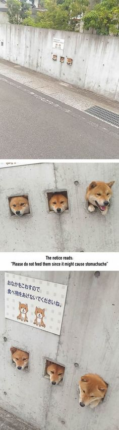 These Shiba Are Sticking Their Heads Out For Attention And It's The Cutest Thing Ever
