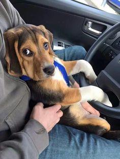 Cutest beagle face