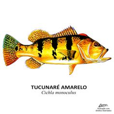 peixe_tucunare_amarelo Fishing Girls, Fly Fishing, Peacock Bass, River Monsters, Fish Drawings, Types Of Fish, Vintage Fishing, Cichlids, Fish Art
