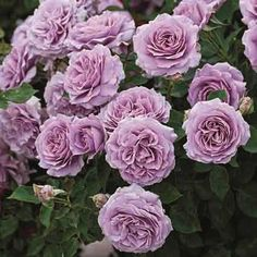 Love Song Floribunda Rose - from Jung - new for 2016